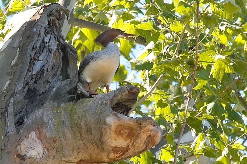 Nesting Female Merganser