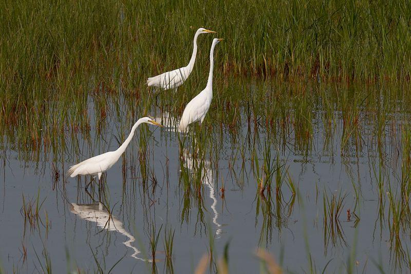 Great Egrets Fishing