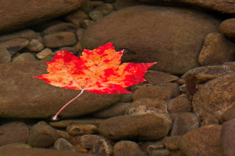 Maple Leaf in Creek