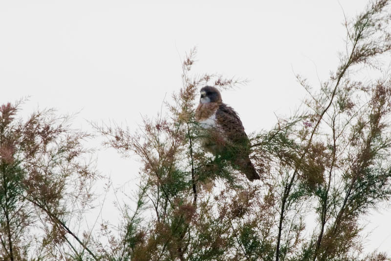 Swainsons Hawk (light morph)