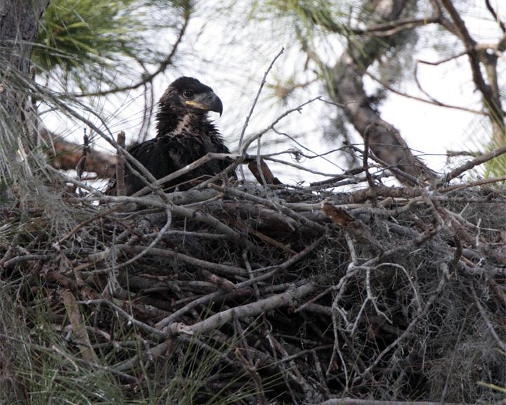 Eagle Fledgling.jpg