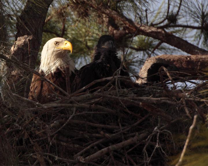 Bald Eagle with Fledgling.jpg