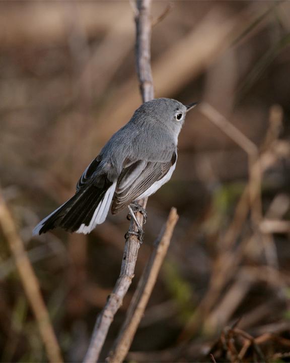 Grey Gnatcatcher on a twig.jpg