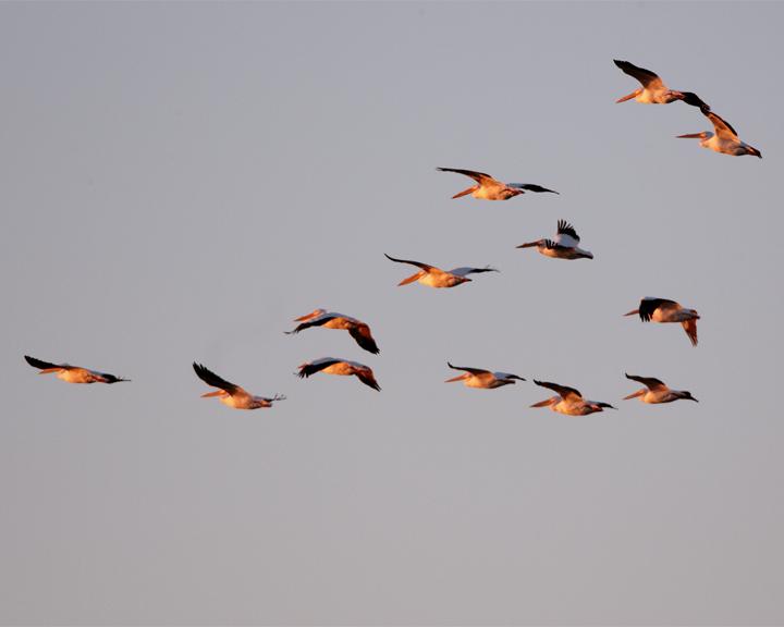 Circle B Pelican Flight at Dawn.jpg