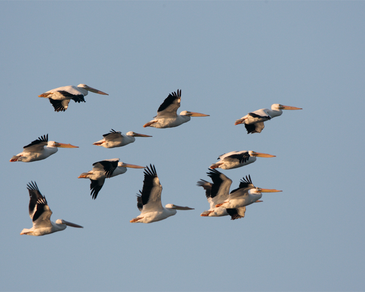 Circle B Pelicans Flying at Dawn.jpg