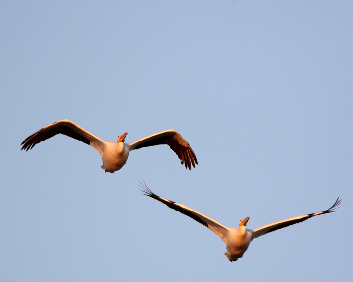 Circle B Two Pelicans Flying at Dawn.jpg