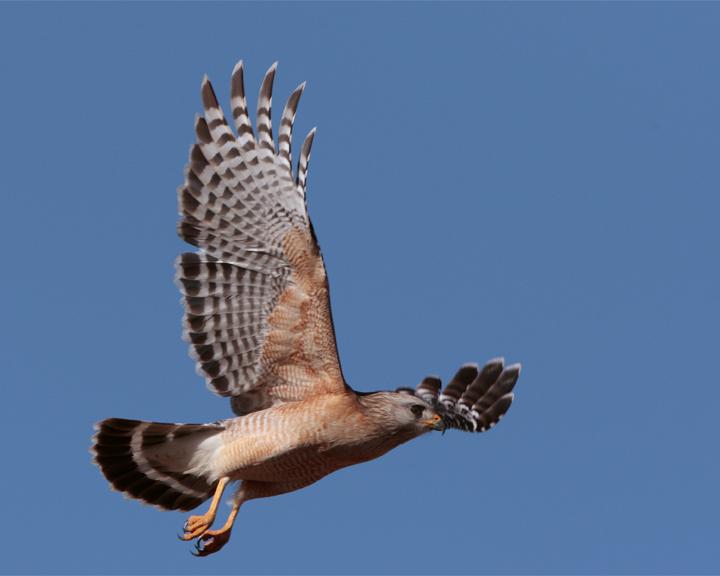 Red Shoulder Hawk Flying.jpg