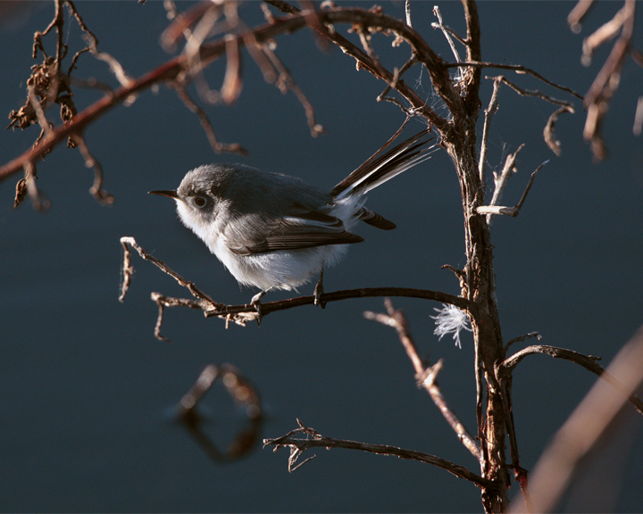 Blue Grey Gnatcatcher in the Branches 2.jpg