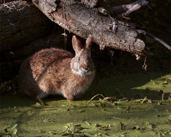 Circle B Marsh Rabbit.jpg