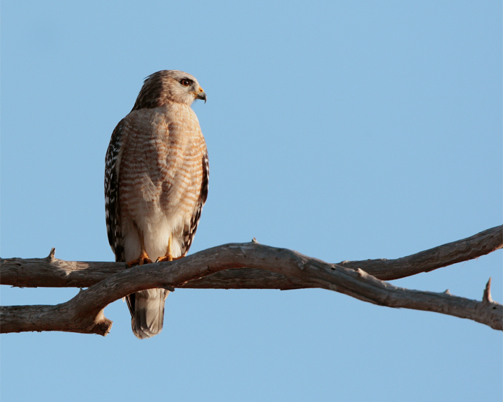 Red Shoulder Hawk on branch looking right.jpg