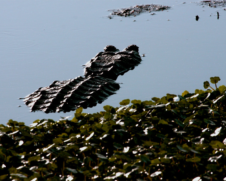 Gator in the Marsh.jpg