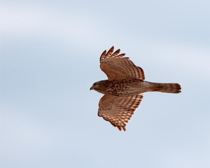 Sharp-shinned Hawk in Flight.jpg