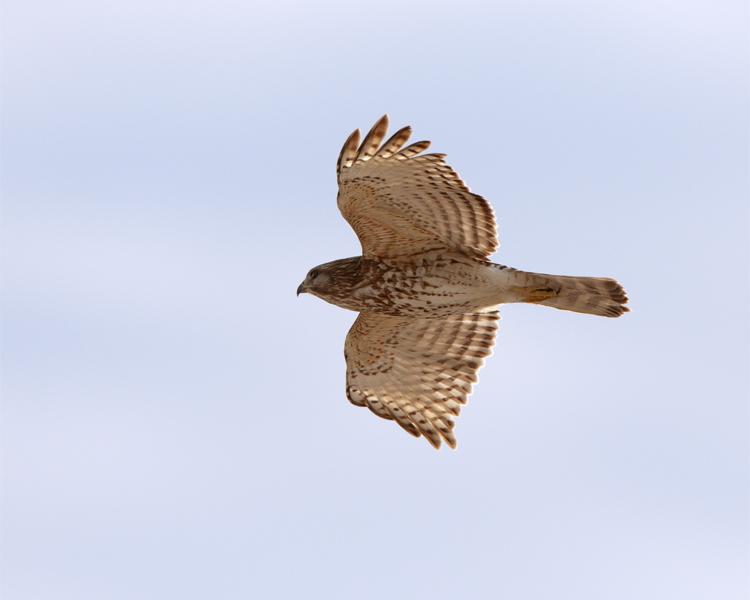 Sharp-shinned hawk in Flight 2.jpg