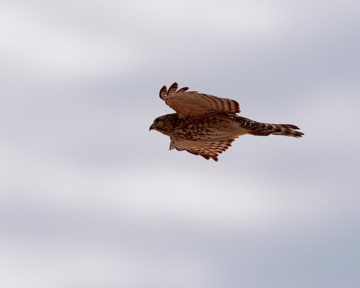 Sharp-Shinned Hawk in Flight 3.jpg