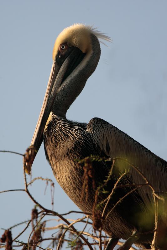 Circle B Brown Pelican closeup.jpg
