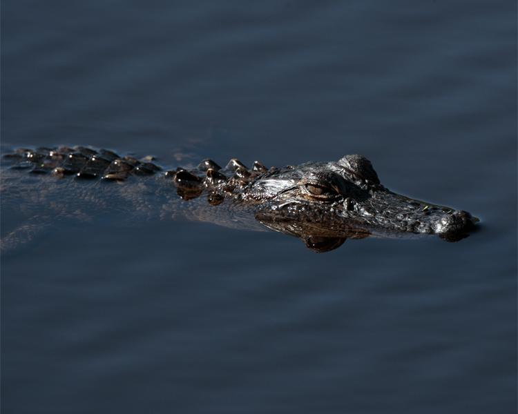 Baby Gator at Circle B.jpg