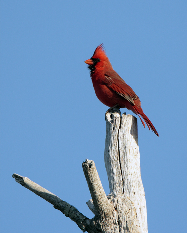 Circle B Cardinal on a tree.jpg