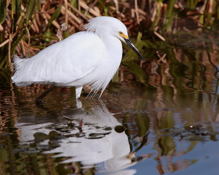 Circle B Egret in the Marsh.jpg