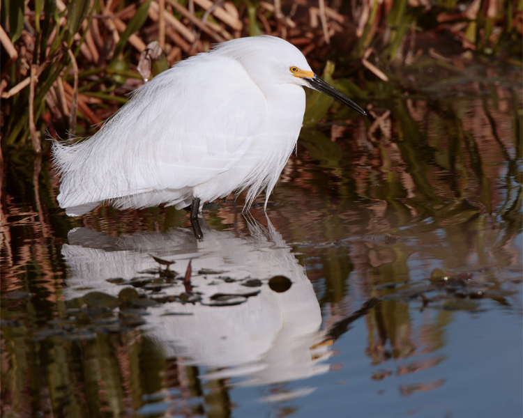 Circle B Egret in the Marsh 2.jpg