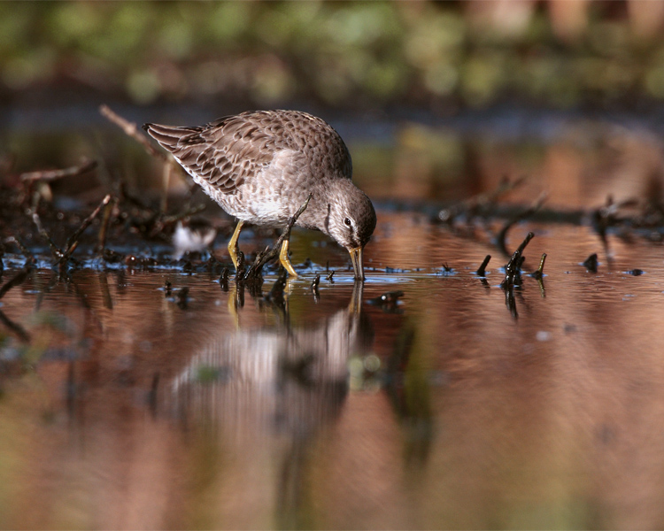 Circle B Dowitchers in the marsh.jpg