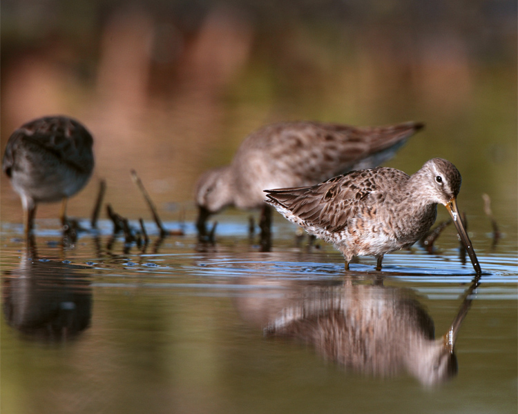 Dowitchers in the Marsh.jpg
