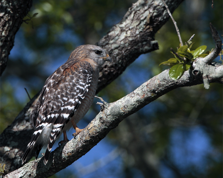 Red Shoulder Hawk in a tree on Marsh Rabbit Run.jpg