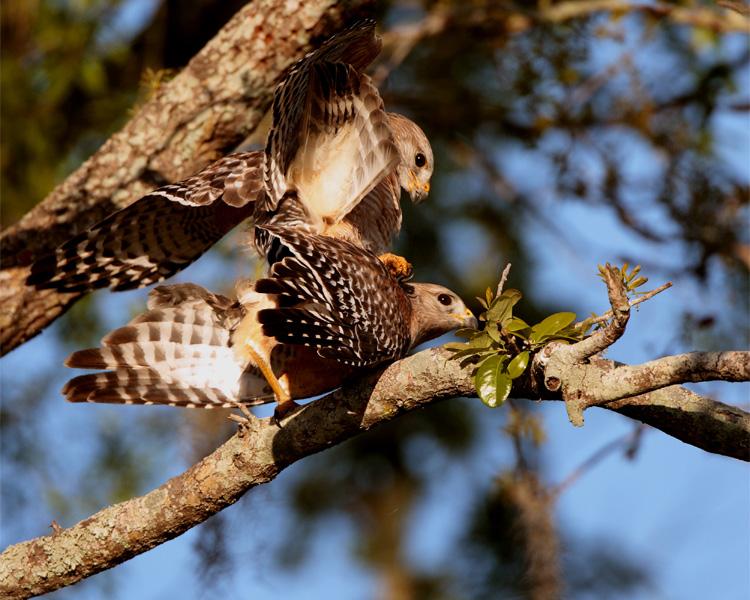 Red Shoulder Hawks Mating.jpg