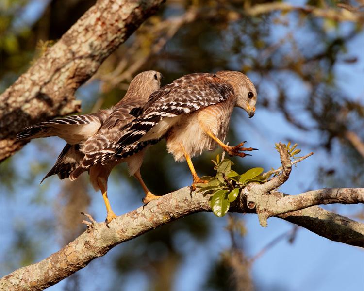 Hawks after mating.jpg