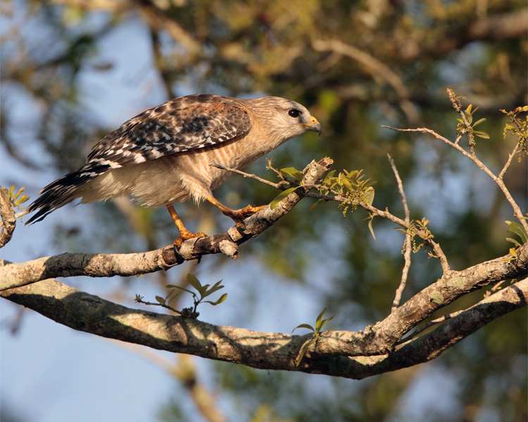 Hawk after mating.jpg