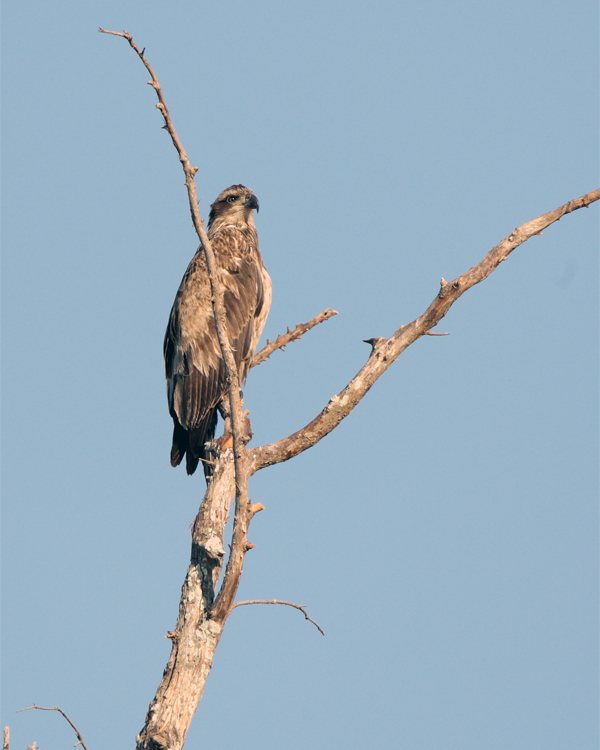 Juvenile Bald Eagle Just out of the nest in a tree.jpg