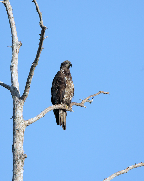 Juvenile Bald Eagle on a tree just out of the nest 2.jpg