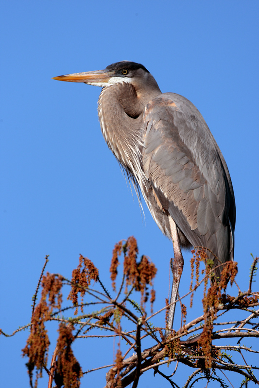 Circle B Great Blue Heron in the treetop at Dawn 2.jpg