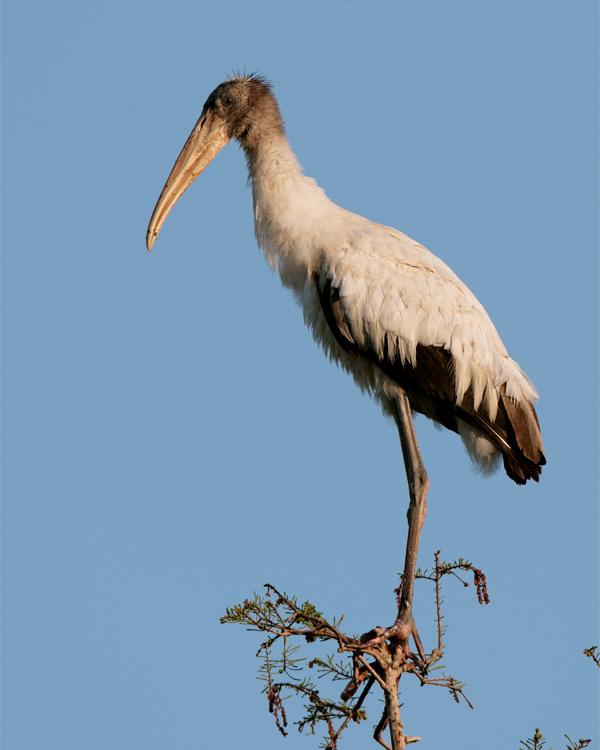 Circle B Wood Stork in a tree.jpg