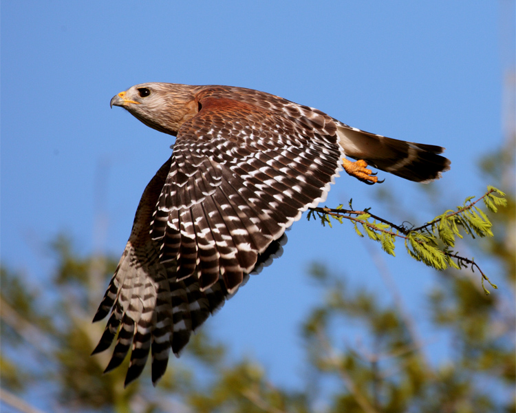 Circle B Red Shoulder Hawk in Flight with Nesting Material 2.jpg