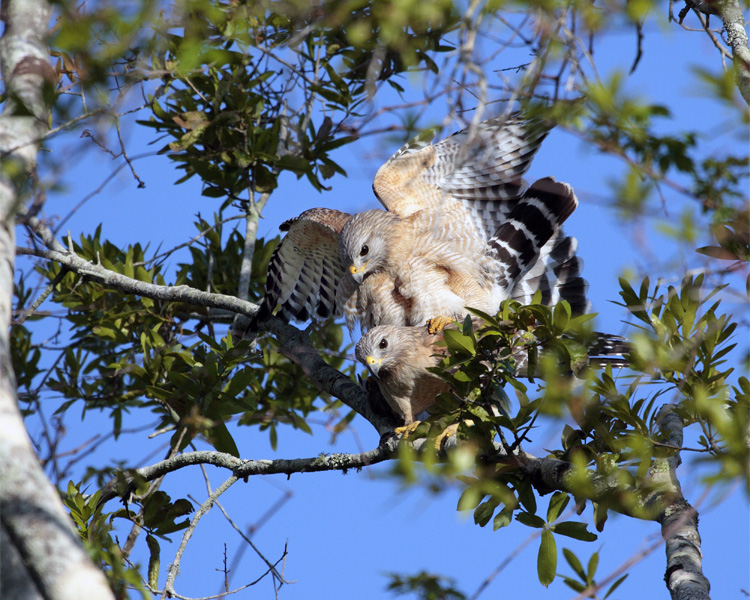 Circle B Red Shoulder Hawks Mating.jpg
