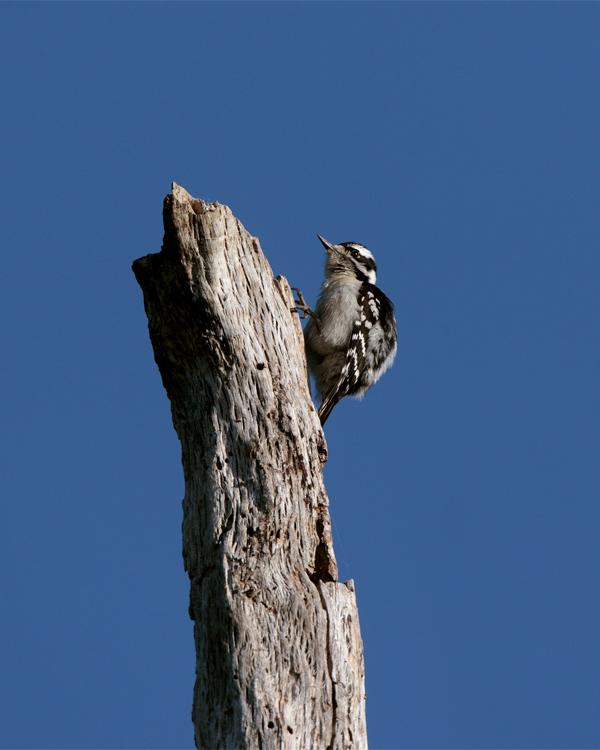 Circle B Downy Woodpecker on dead tree.jpg