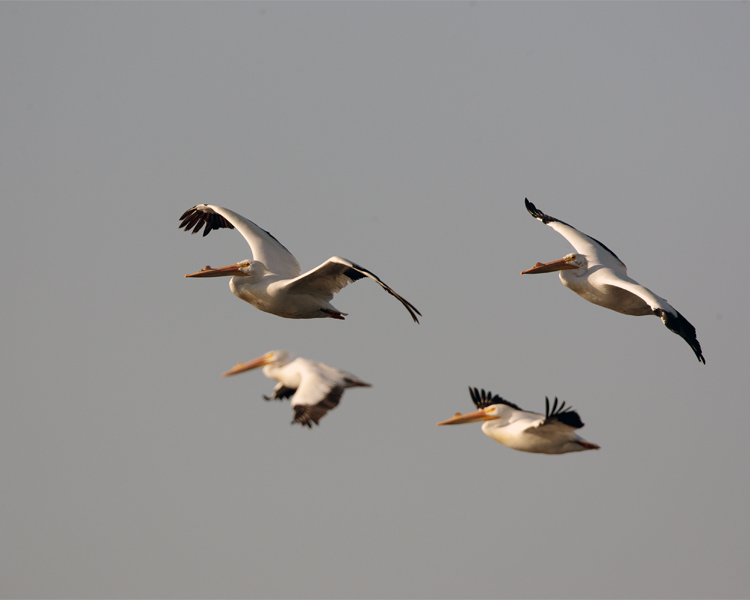 Circle B Pelicans Flying over the marsh.jpg