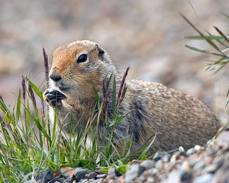 Arctic Ground Squirrel Eating.jpg