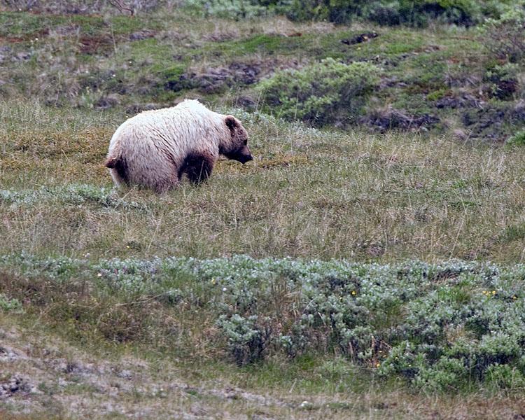 Denali Grizzly.jpg