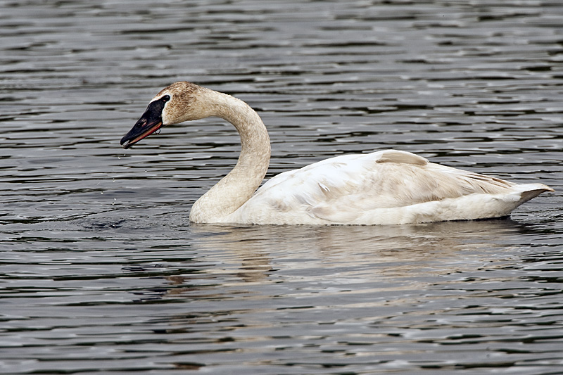 Trumpeter Swan Near Wonder Lake.jpg