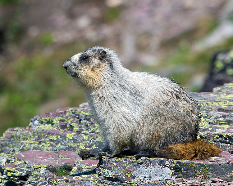 Hoary Marmot at Hidden Lake Overlook.jpg
