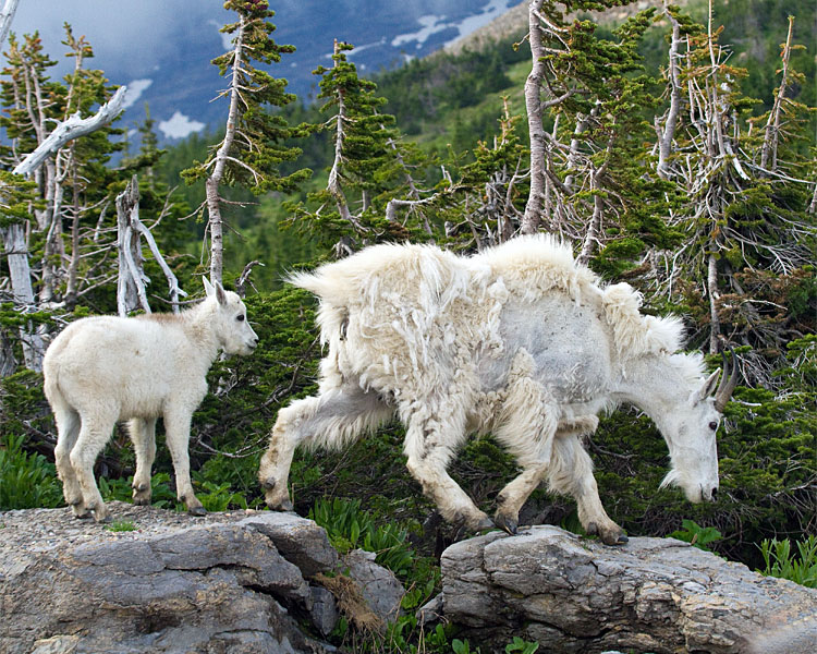 Mountain Goat and Kid on the Rocks at Logan Pass.jpg