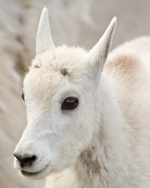 Mountain Goat Kid Portrait.jpg