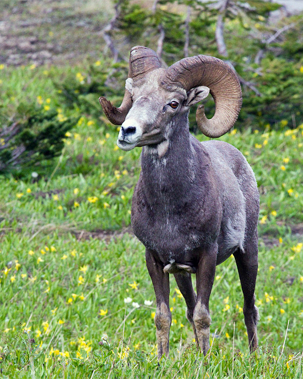 Bighorn in the Wildflowers at Logan Pass vertical.jpg