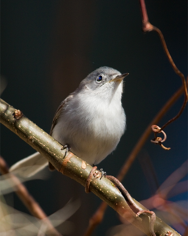 Circle B Gnatcatcher.jpg