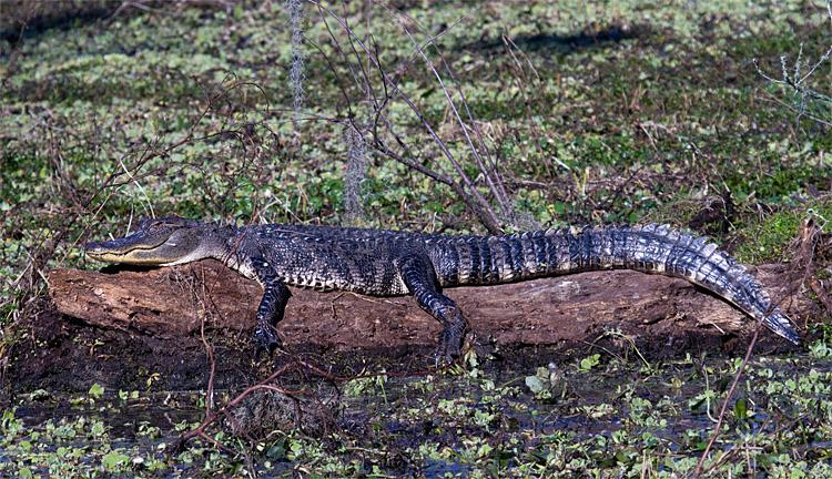 Gator Sunning Itself on a Log.jpg