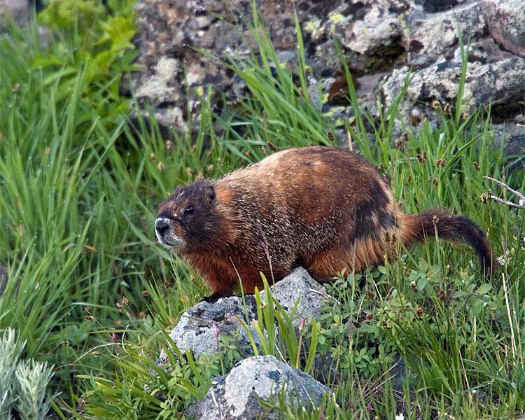 Marmot in the Grass.jpg