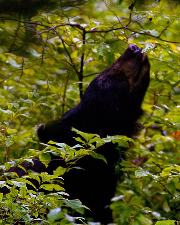 Black Bear Chewing on Leaves.jpg