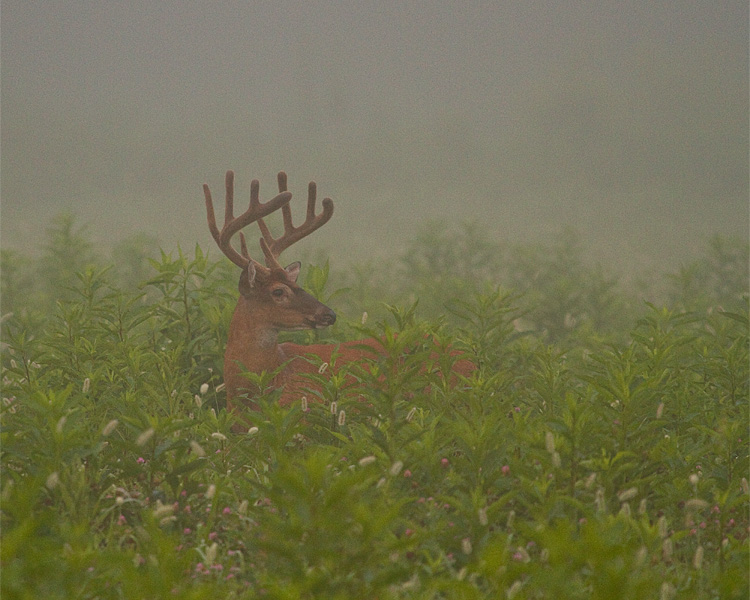 Whitetail in the mist.jpg