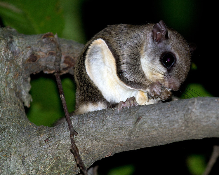 Southern Flying Squirrel on a Branch.jpg